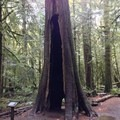 A burn-scarred western redcedar that lives on.- Moments in Time Interpretive Trail