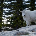 A stare down with the local mountain goats (Oreamnos americanus).- Enchantment Lakes Thru-Hike