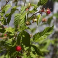 Wild raspberries grow along the Middle Fork Trail.- Middle Fork of the Boise River, Powerplant Trailhead to Mattingly Junction