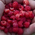 A fruitful harvest of wild raspberries.- Middle Fork of the Boise River, Powerplant Trailhead to Mattingly Junction