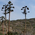 Shaw's agave (Agave shawii).- Torrey Pines State Natural Reserve