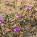 Beach sand verbena.- Torrey Pines State Natural Reserve