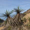 Mojave yucca along the trail.- Torrey Pines State Natural Reserve