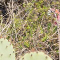 Coast prickly pear cactus with lanceleaf live-forever bud spike.- Torrey Pines State Natural Reserve