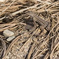 Western fence lizard (Sceloporus occidentalis).- Torrey Pines State Natural Reserve