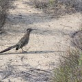 Roadrunner (Geococcyx californianus).- Torrey Pines State Natural Reserve