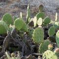 Coast prickly pear cactus (Opuntia littoralis).- Torrey Pines State Natural Reserve