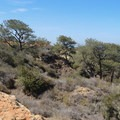 The Torrey pine (Pinus torreyana), after which the reserve was named.- Torrey Pines State Natural Reserve