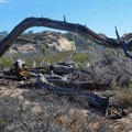 A fallen tree provides a habitat for insects and reptiles.- Torrey Pines State Natural Reserve