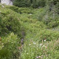 Wildflowers along the upper Mattingly Trail.- Middle Fork of the Boise River, Mattingly Creek and Divide