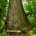 The largest western redcedar in Rockport State Park stands over 200 feet tall.- Rockport State Park