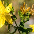St John's wort.- Lake Pateros Sea Kayaking