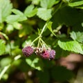 Black raspberries.- Teneriffe Falls