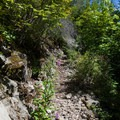 Fireweed flowers.- Teneriffe Falls