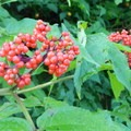 The talus fields and forest along the trail are lush with flowers and berries.- Mount Thompson: West Ridge