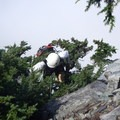 The first climbing pitch ends just above these trees.- Mount Thompson: West Ridge