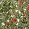 Scarlet paintbrush (Castilleja miniata) and white mariposa lilys (Calochortus eurycarpus) decorate the high alpine meadows.- Baron Falls + Baron Lakes