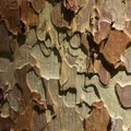 Ponderosa pine bark detail.- Baron Falls + Baron Lakes