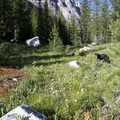 A brief opening along the Benedict Creek Canyon supports a pretty field of wildflowers.- South Fork of the Payette River, Everly Lake, Plummer Lake + Everly Divide