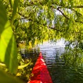 Exploring a tree hanging over the water under the Ship Canal Bridge.- Portage Bay Sea Kayaking