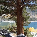 Western juniper providing shade for breaks from hiking or fishing.- Lake Sabrina Inlet Hiking Trail