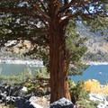 Shade under a western juniper.- Lake Sabrina Loop Hike