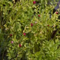 Grouse whortleberry (Vaccinium scoparium) are a tasty treat found throughout the Sawtooths in late summer.- Pats Lake, Arrowhead Lake, + Queens River Divide