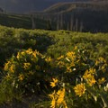 Arrowleaf balsamroot in the early sun on Picket Mountain.- Waipiti Ridge Trail
