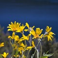 Arrowleaf balsamroot (Balsamorhis sagittata) above Redfish Lake.- Redfish Inlet Hikes