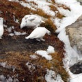 White-tailed ptarmigans (Lagopus leucurus) in the upper Enchantment Lakes.- Enchantment Lakes Hike via Colchuck Lake