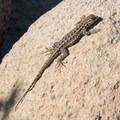 Sideblotched lizard (Uta stansburiana).- Iron Mountain