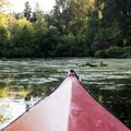 A wide section of the slough rife with barely submerged logs.- Mercer Slough Kayak/Canoe