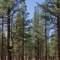 Jeffrey pine forest. - Jeffrey Pine Forest
