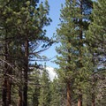 A glimpse of the Mono Craters through the Jeffrey pine forest.- Jeffrey Pine Forest