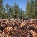 Jeffrey pine cones.- Jeffrey Pine Forest