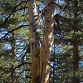 Like bristlecone pines, Jeffrey pines become gnarled and twisted with age.- Jeffrey Pine Forest