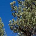 Jeffrey pine trees.- Jeffrey Pine Forest