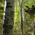 Arborglyphs at Silver Lake.- June Lake Loop