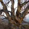 Twisted white bark pine.- Eureka Gulch