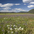 Later in July the common yarrow (Achillea millefolium) and Rydberg's penstemon (Penstemon rydbergii) come out.- Elk Meadow + Elizabeth Lake
