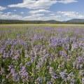 Rydberg's penstemon or another of the many penstemon varieties.- Elk Meadow + Elizabeth Lake