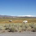 Cattle graze near Lower Hot Creek.- Hot Creek Geological Site