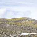 Aspen trees in the Bodie Hills.- Bodie Hills