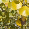 Aspen leaves in the Bodie Hills.- Bodie Hills