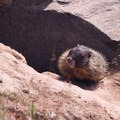 Yellow-bellied marmots are abundant in the park.- Palouse Falls State Park