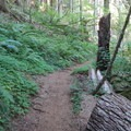 A lush understory provides greenery all year round.- Marys Peak via North Ridge Trail