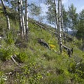 The Fishook Creek Trail passes through a small grove of aspens just a short way up the trail.- Fishhook Creek
