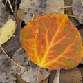 Fall leaf detail.- Fishhook Creek