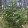 Young evergreen trees are well established in the Johnson Creek basin 17 years after the Rabbit Creek Fire.- Johnson Lake