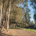 Eucalyptus trees line the walking trail.- Moran Lake Park